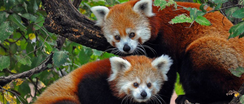 A red panda mother and cub at the Oklahoma City Zoo. esdeem (Shutterstock)