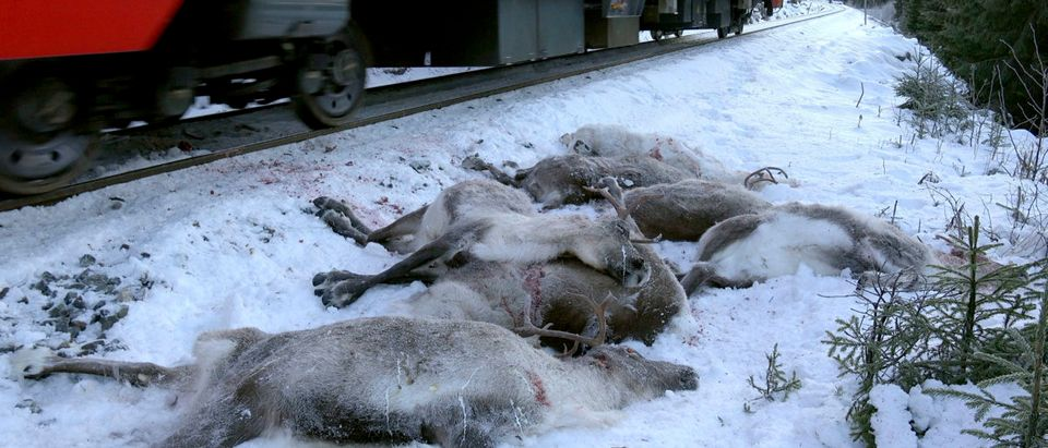 More than 100 reindeers have been hit by trains and were killed in several incidents in the area the last days.JOHN ERLING UTSI/AFP/Getty Images
