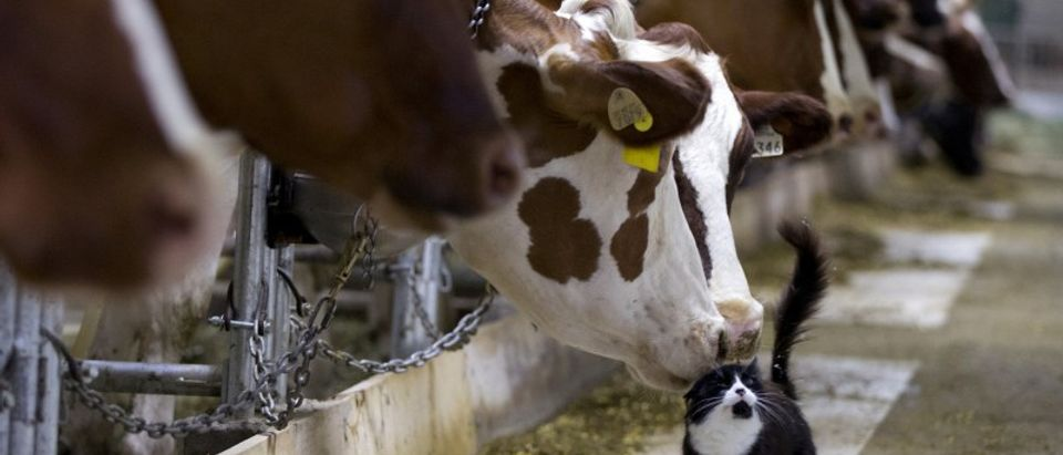 FILE PHOTO: Dairy cows nuzzle a barn cat as they wait to be milked at a farm in Granby Quebec