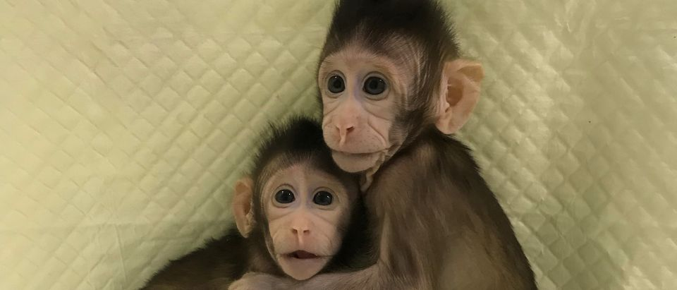 Zhong Zhong and Hua Hua, two cloned long tailed macaque monkeys are seen at the Non-Primate facility at the Chinese Academy of Sciences in Shanghai