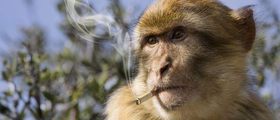 Monkey smoking a cigarette