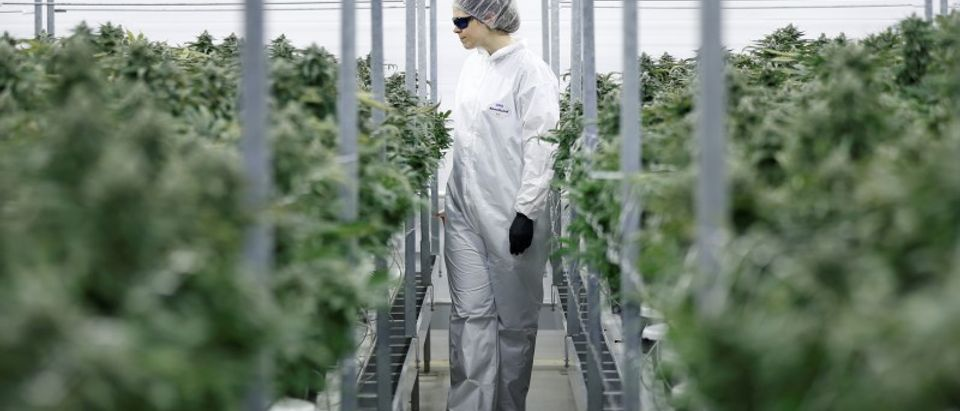 Section grower Corey Evans walks between flowering marijuana plants at the Canopy Growth Corporation facility in Smiths Falls