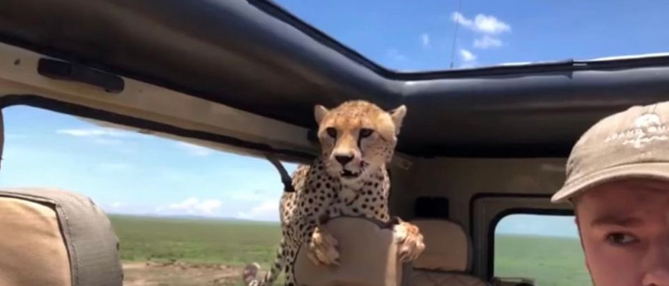 A cheetah jumps into Seattle man's jeep during an African Safari trip. (YouTube/screen shot)