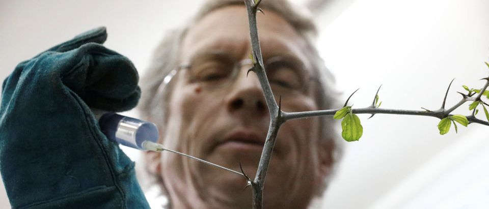 Dr. Shabtai Cohen holds a water syringe to a thorny branch of the Christ's Thorn Jujube tree in his laboratory at the Volcani Agricultural Research Centre in Beit Dagan, Israel, March 8, 2018. Picture taken March 8, 2018. REUTERS/Amir Cohen | Crown Of Thorns Tree Reclaims Deserts