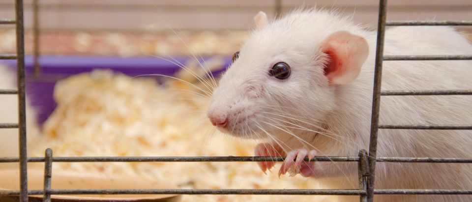 Lab_Mouse | Source: Kirill Kurashov/Shutterstock | EPA Exposed Animals To Air Pollutants