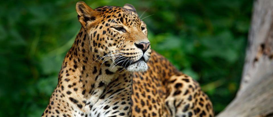 Leopard (Credit: Shutterstock)