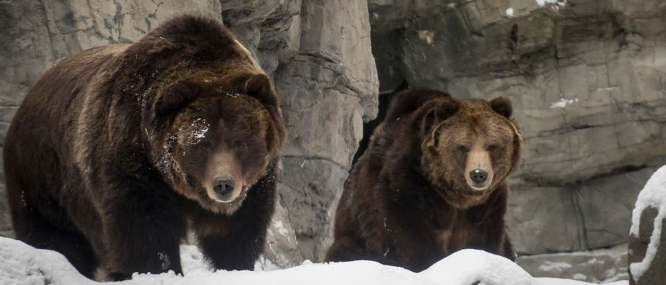 Two rescued female grizzly bears explore their new habitat in the snow at New York's Central Park Zoo on January 9, 2015. (Photo: REUTERS/Brendan McDermid)