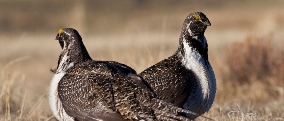 U.S. Bureau of Land Management photo of a pair of sage grouse