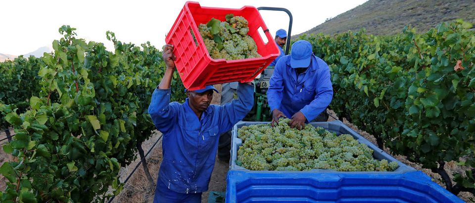 Workers harvest grapes at the La Motte wine farm in Franschhoek near Cape Town