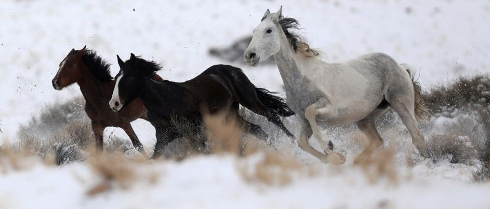 Wild horses attempt to escape being herded into corrals by a helicopter during a Bureau of Land Management round-up outside Milford, Utah, U.S., January 8, 2017. REUTERS/Jim Urquhart
