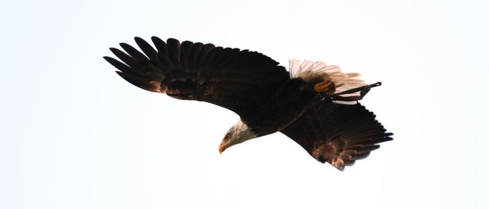 PHILADELPHIA, PA - JANUARY 13: Challenger the Bald Eagle soars in the stadium prior to the NFC Divisional Playoff game between the Atlanta Falcons and the Philadelphia Eagles at Lincoln Financial Field on January 13, 2018 in Philadelphia, Pennsylvania. (Photo by Patrick Smith/Getty Images)