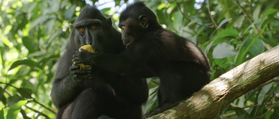 Crested black macaques in a 2015 BBC documentary. (YouTube screenshot:BBC Earth)