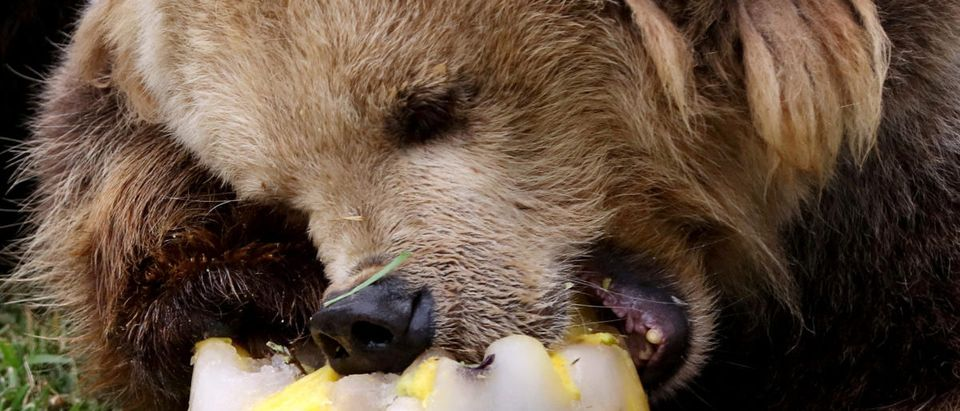 A grizzly bear eats a frozen meal at the Parque de Las Leyendas zoo in Lima