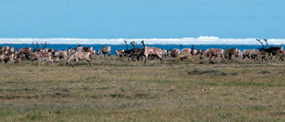 Caribou are seen in the 1002 Area of the Arctic Refuge coastal plain, with the Beaufort Sea and icebergs in the background in this 2008 handout photo from the U.S. Fish and Wildlife Service released to Reuters October 1, 2010. A planned study of possible new wilderness protections for the Arctic National Wildlife Refuge has sparked a furor in Alaska, where energy companies have long dreamed of tapping oil reserves beneath its vast coastal plain home to herds of migrating animals. REUTERS/U.S. Fish and Wildlife Service/Handout (UNITED STATES - Tags: ENERGY ENVIRONMENT) FOR EDITORIAL USE ONLY. NOT FOR SALE FOR MARKETING OR ADVERTISING CAMPAIGNS. THIS IMAGE HAS BEEN SUPPLIED BY A THIRD PARTY. IT IS DISTRIBUTED, EXACTLY AS RECEIVED BY REUTERS, AS A SERVICE TO CLIENTS | Trump Lifts Obama Regs Off Alaska Hunters | Dems Ignore Alaskans, Try Closing ANWR
