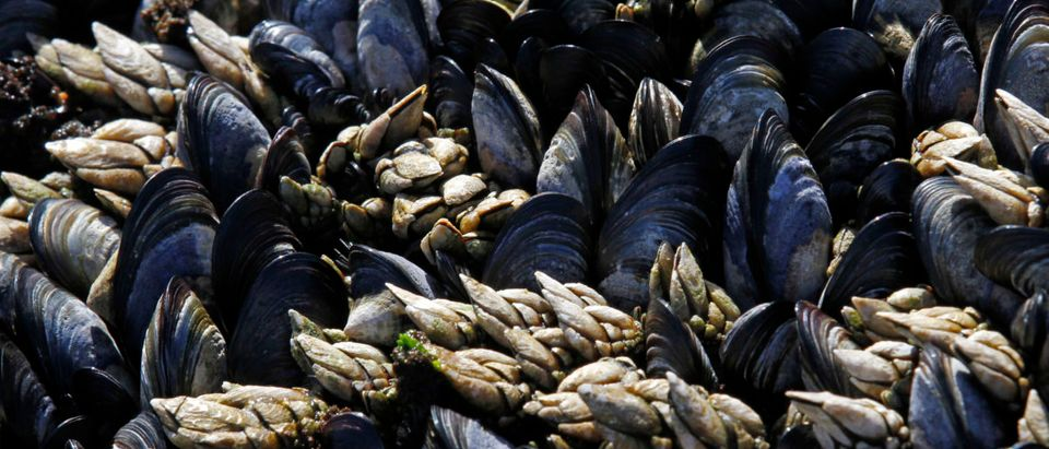 Goose barnacles (white) are seen with mussels on a seaside cliff in Ericeira, 50 km (31 miles) north of Lisbon, June 20, 2012. Maria, 69, and Joao, 75, live with a monthly pension of 270 euros collecting goose barnacles and do subsistence farming. REUTERS/Jose Manuel Ribeiro | Trace Opioids Found In Mussels