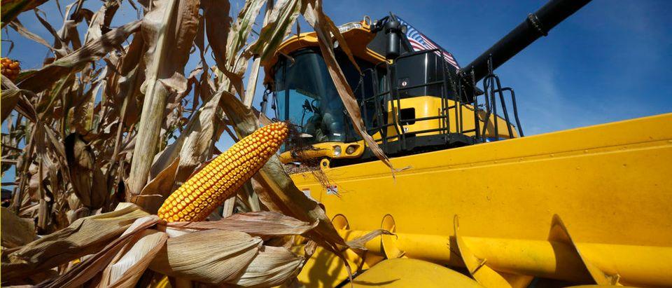 A combine machine harvests corn in a field in Minooka