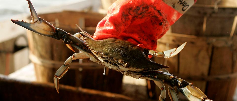 Crabbers Feel Pinch As Catch Declines Along Maryland Coast