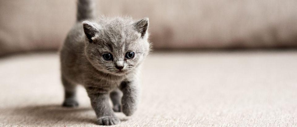 Kitten [Shutterstock, by Zhalabkovich Yauheniya]