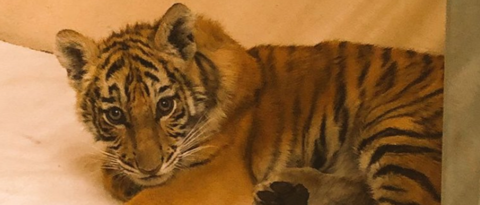 tiger cub (US Border Patrol)
