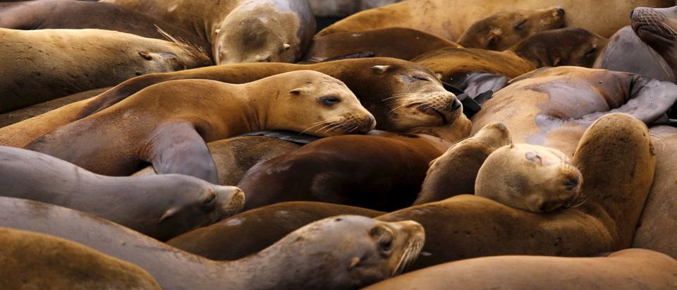 Sea lions sleep on a floating dock at Pier 39 in San Francisco