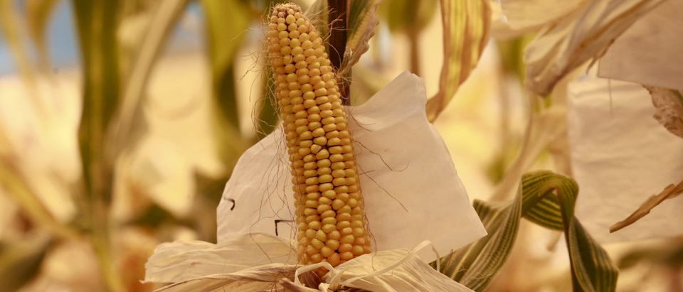 FILE PHOTO: Genetically modified corn are seen cultivated at a greenhouse in Syngenta Biotech Center in Beijing