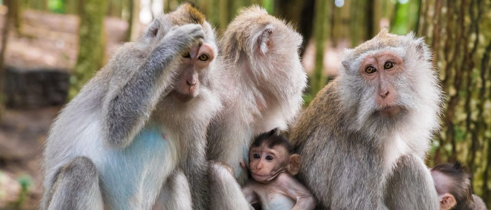 Macaque monkeys are with cubs at Monkey Forest, Bali, Indonesia. (Shutterstock/Constantin Stanciu)