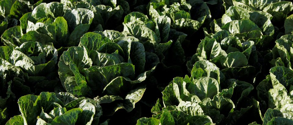 Romaine lettuce grows near Soledad