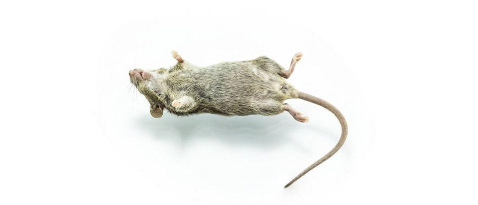 dead rat Shutterstock/Aireo