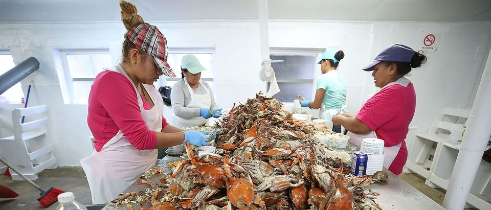 Women pick crabs at the W.T. Ruark Seafood Co., on May 17, 2018 in Hoopers Island, Maryland. Due to a new lottery system this year several seafood companies failed to get temporary H-2B visas for their mostly Mexican workforce that has been coming to the Maryland eastern shore for over two decades to pick the crab meat that is sold in restaurants and stores on the east coast. (Photo by Mark Wilson/Getty Images)
