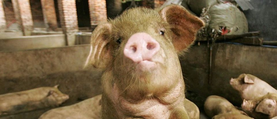pig Getty Images Peter Parks