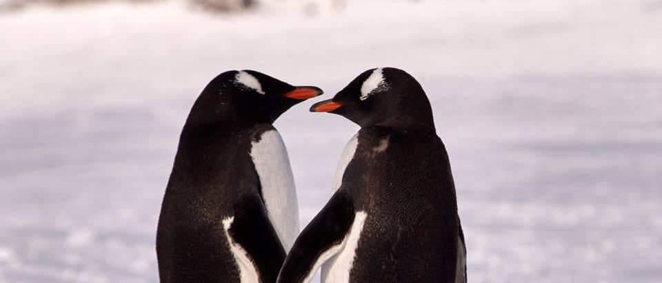 Two Gentoo Penguins (Pygoscelis Papua) in love in Antarctica standing on a rock with an icy white background looking at each other holding hands (Shutterstock)