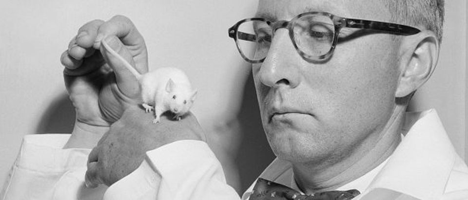 1960s bow tied, lab coated scientist is pictured with a white mouse. (Photo by Kirn Vintage Stock/Getty Images)