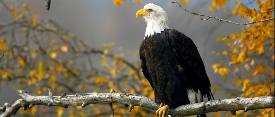 A bald eagle sits in a tree in the Chilkat Bald Eagle Preserve near Haines, Alaska (Reuters)