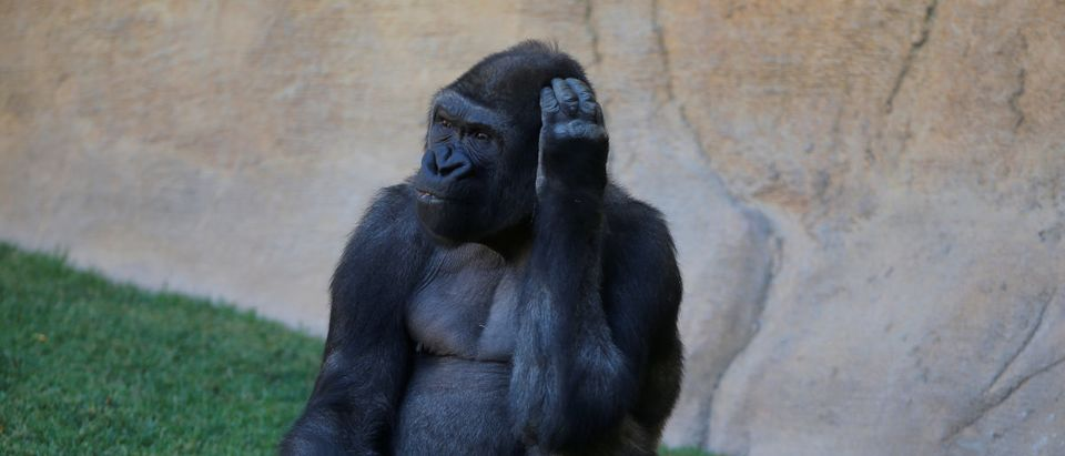 Echo, a 9-year-old blackback coast gorilla, looks on as he eats in his enclosure at Bioparc Fuengirola in Fuengirola