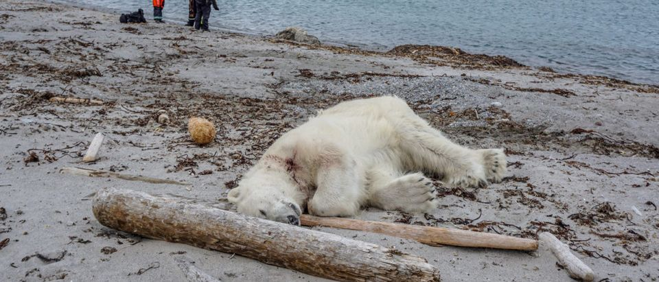 A polar bear is seen after being shot dead by another employee according to the cruise company, in Svalbard