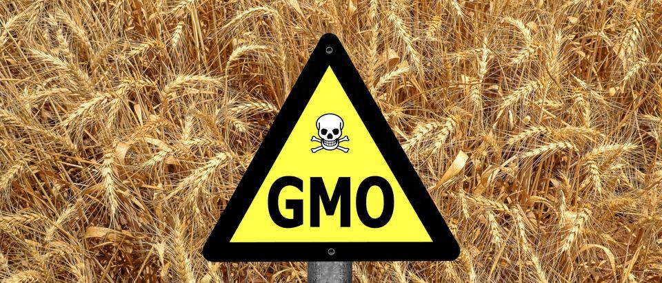 GMO wheat mystery
