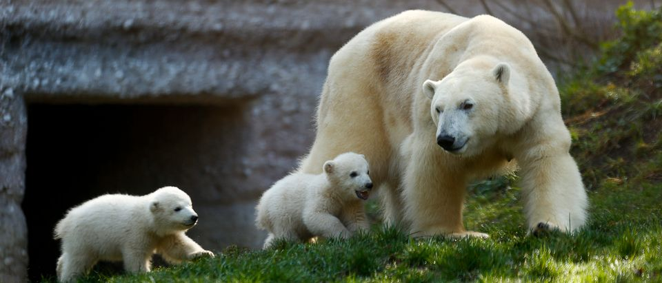 Twin polar bear cubs Nela and Nobby and their mother Giovanna play outside their enclosure at Tierpark Hellabrunn zoo in Munich, April 7, 2014. The cubs born in 2013 are presented to media on Monday on occasion of their name giving ceremony. REUTERS/Michael Dalder