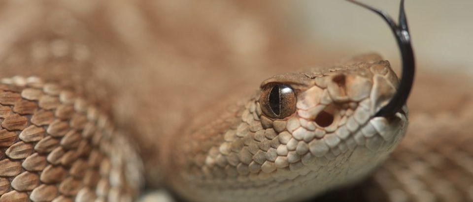 Red Diamond Rattlesnake (Crotalus ruber) closeup -- ShutterStock --Alexander Wong