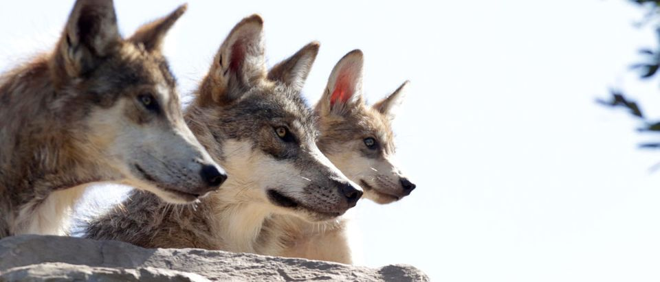A wolf pack, an endangered native species, are seen at their enclosure at the Museo del Desierto in Saltillo