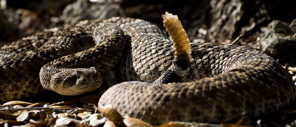 A Texas man allegedly bit the rattle off a rattlesnake's tail before releasing it into his neighbor's RV after a fight. (Photo: Shutterstock/Heiko Kiera)