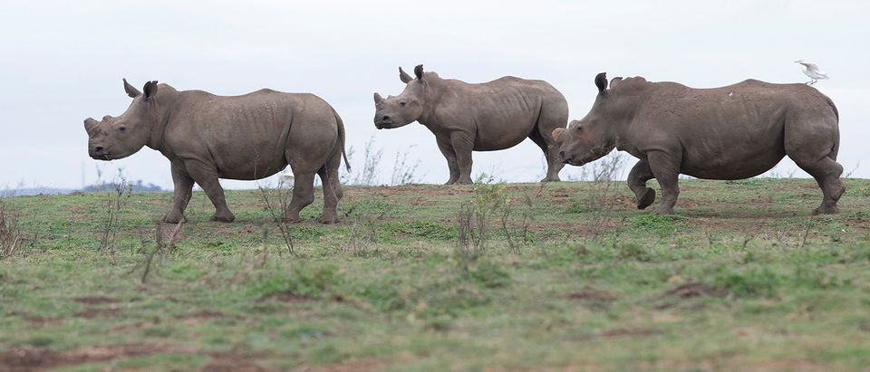 Rhinos are seen in the Pongola Nature Reserve in Jozini