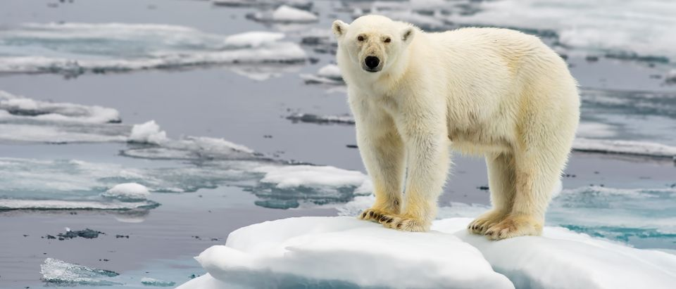 Polar bear on melting ice floe in Arctic Sea, Shutterstock/ By FloridaStock