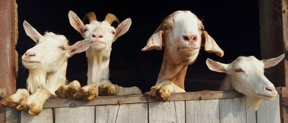 Boise_Idaho_Goats