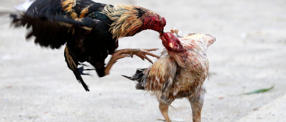 Cockerels fight in the Manguinhos slum during a peacekeeping operation in Rio de Janeiro