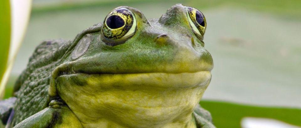 frog Shutterstock Artur Synenko