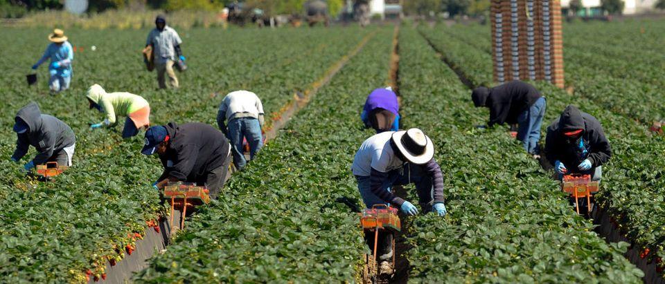 Field workers pick strawberries in Oxnard, California