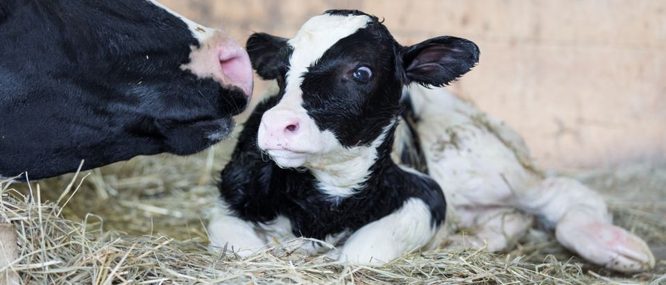 A dairy cow cleans her newly born calf on a dairy farm in Saint-Valerien-de-Milton, southeast of Montreal, Quebec, Canada