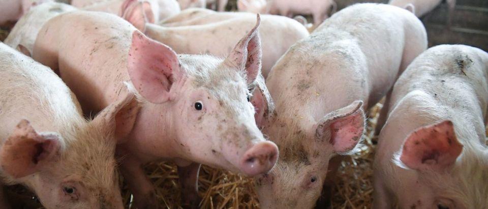 Piglets (Photo credit DAMIEN MEYER/AFP/Getty Images)