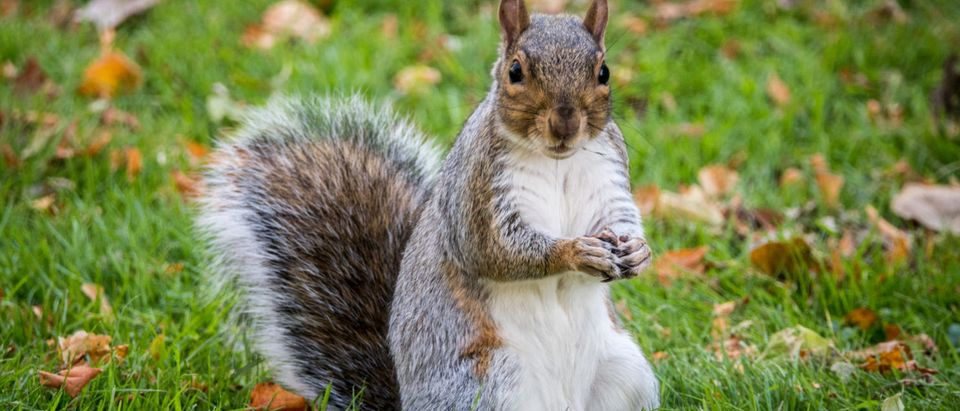 BATH, ENGLAND - OCTOBER 09: A squirrel forages for food as people enjoy the unseasonably warm weather in Baths Royal Victoria Park October 9, 2018 in Bath, England. (Photo by Matt Cardy/Getty Images)