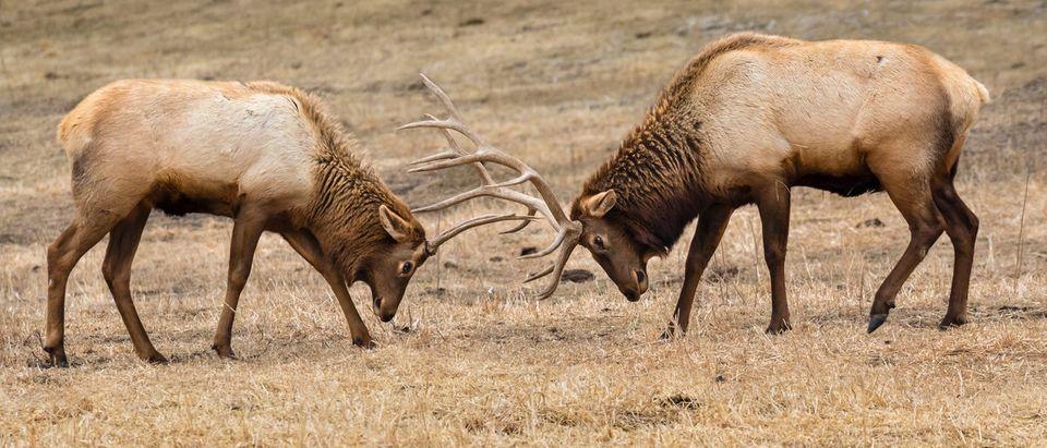 Male elk locked in a fight. (Ivan Kuzmin/Shutterstock)